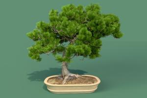 柏树盆景 植物模型 C4D模型 Cypress Bonsai 【模型】